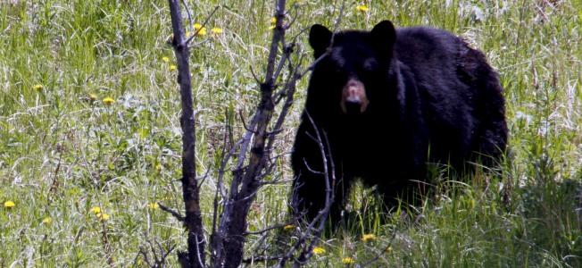 "alt=""Black Bear"""