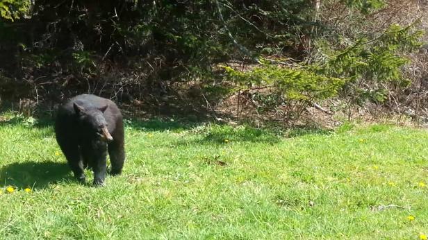 Black Bear Fool